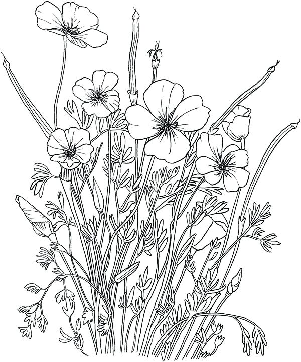 600x722 California State Flower Coloring Page California State Symbols