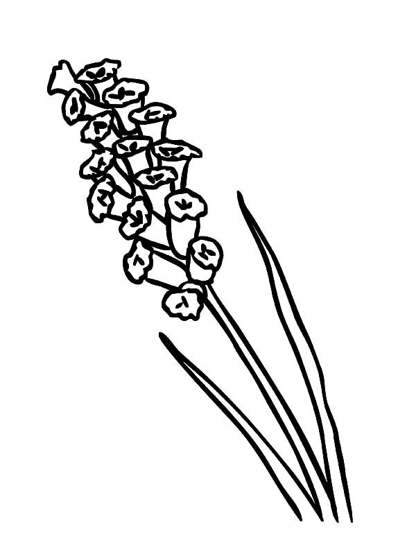 600x776 Canary Island Lavender Flower Coloring Pages