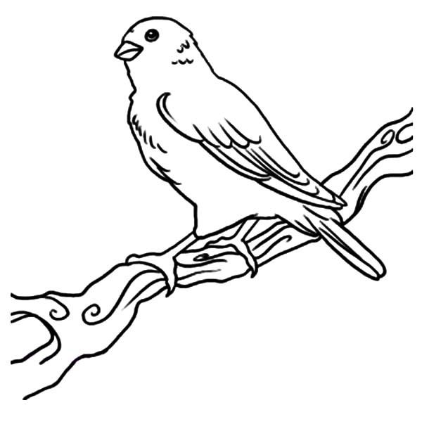 600x603 Female Canary Bird Coloring Pages Best Place To Color