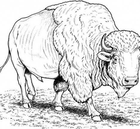 468x433 Buffalo Coloring Pages From Coloringpages Com Embroidery