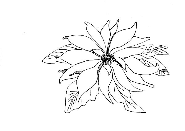 600x425 Picture Of Poinsettia Coloring Page Color Luna