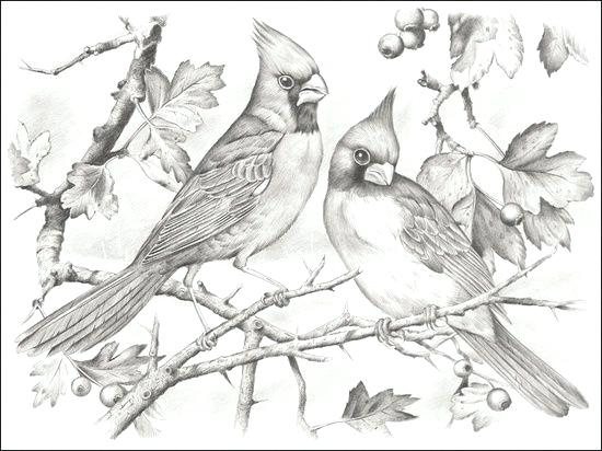 550x412 Cardinal Bird Coloring Page Cardinal Coloring Pages Pictures
