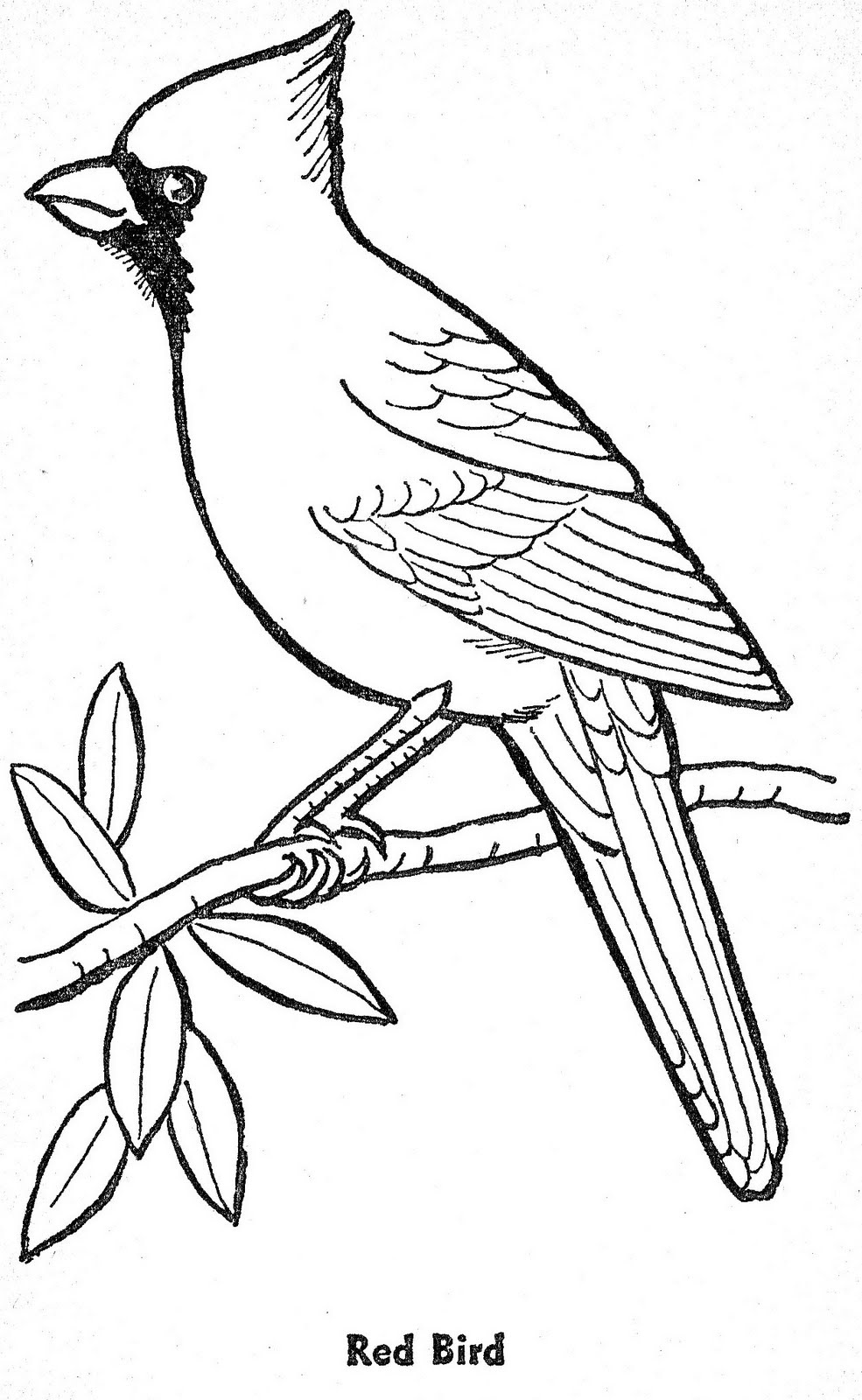 985x1600 Fresh Cardinal Pictures To Color Coloring Page With Wallpaper Hd