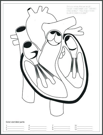 432x565 Circulatory System Coloring Page Circulatory System Coloring Human