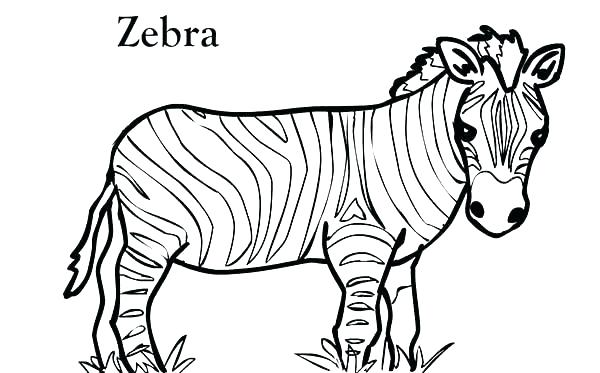 600x373 Zebras Color At Birth Pictures Of Zebras To Color Zebra Coloring