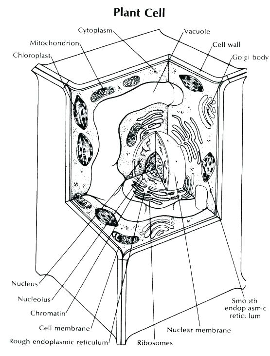 555x730 Animal Cell Coloring Page