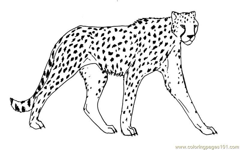 800x502 Cheetah Coloring Pages Printable