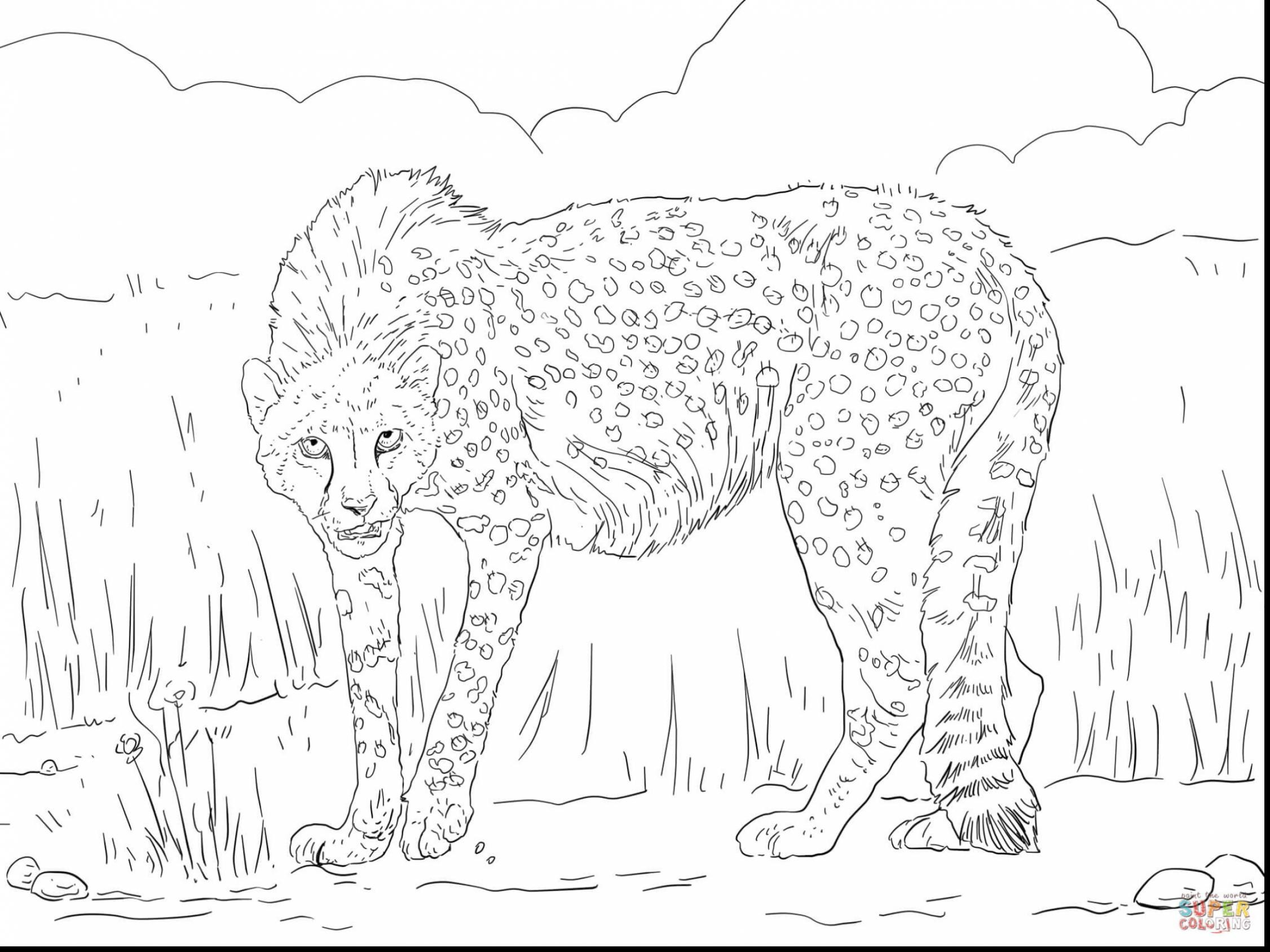 2252x1689 Cheetah Coloring Pages Realistic Resume