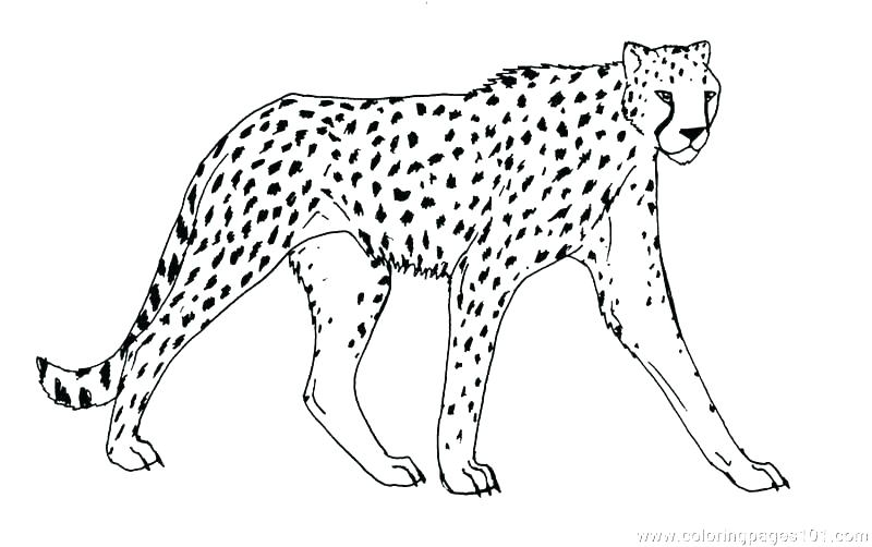 Cheetah Print Coloring Pages At Getdrawings Com Free For Personal