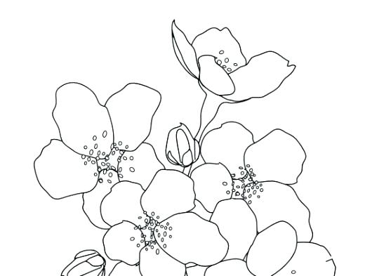 520x393 Japanese Cherry Blossom Coloring Pages Cherry Blossom Tree Drawing