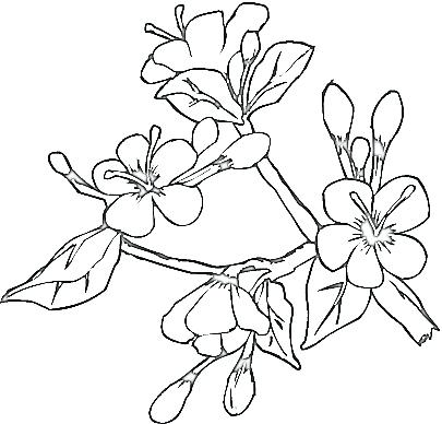 405x388 Best Cherry Blossom Tree Coloring Pages Images Example Resume