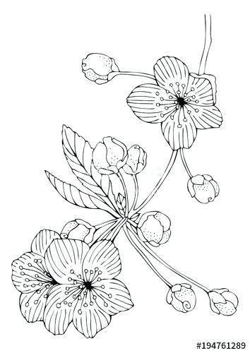 354x500 Cherry Blossom Coloring Page Cherry Blossoms Hand Drawn Picture