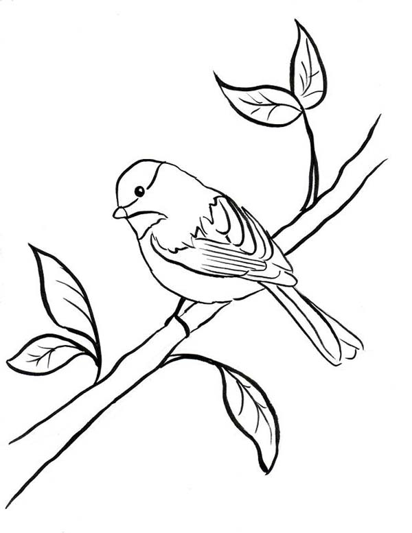 600x777 Black Capped Chickadee Coloring Page Black Capped Chickadee
