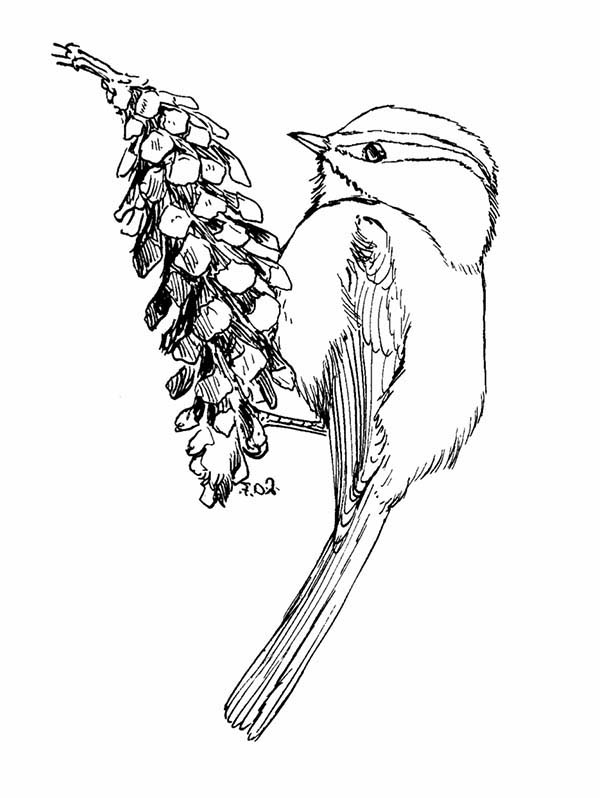 600x798 Mountain Chickadee Eating Pine Fruit Coloring Page