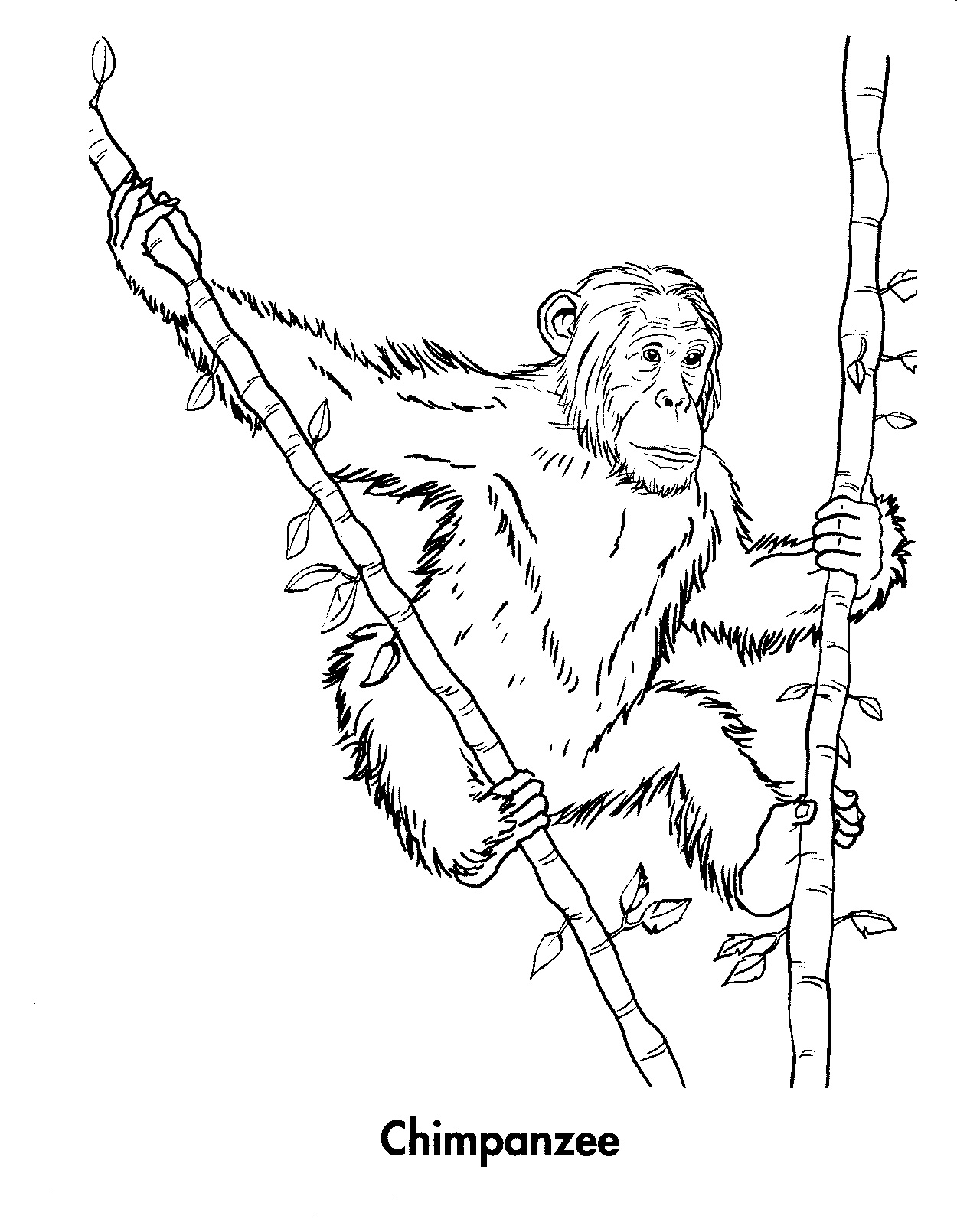 1250x1610 Free Printable Chimpanzee Coloring Pages For Kids Chimpanzee