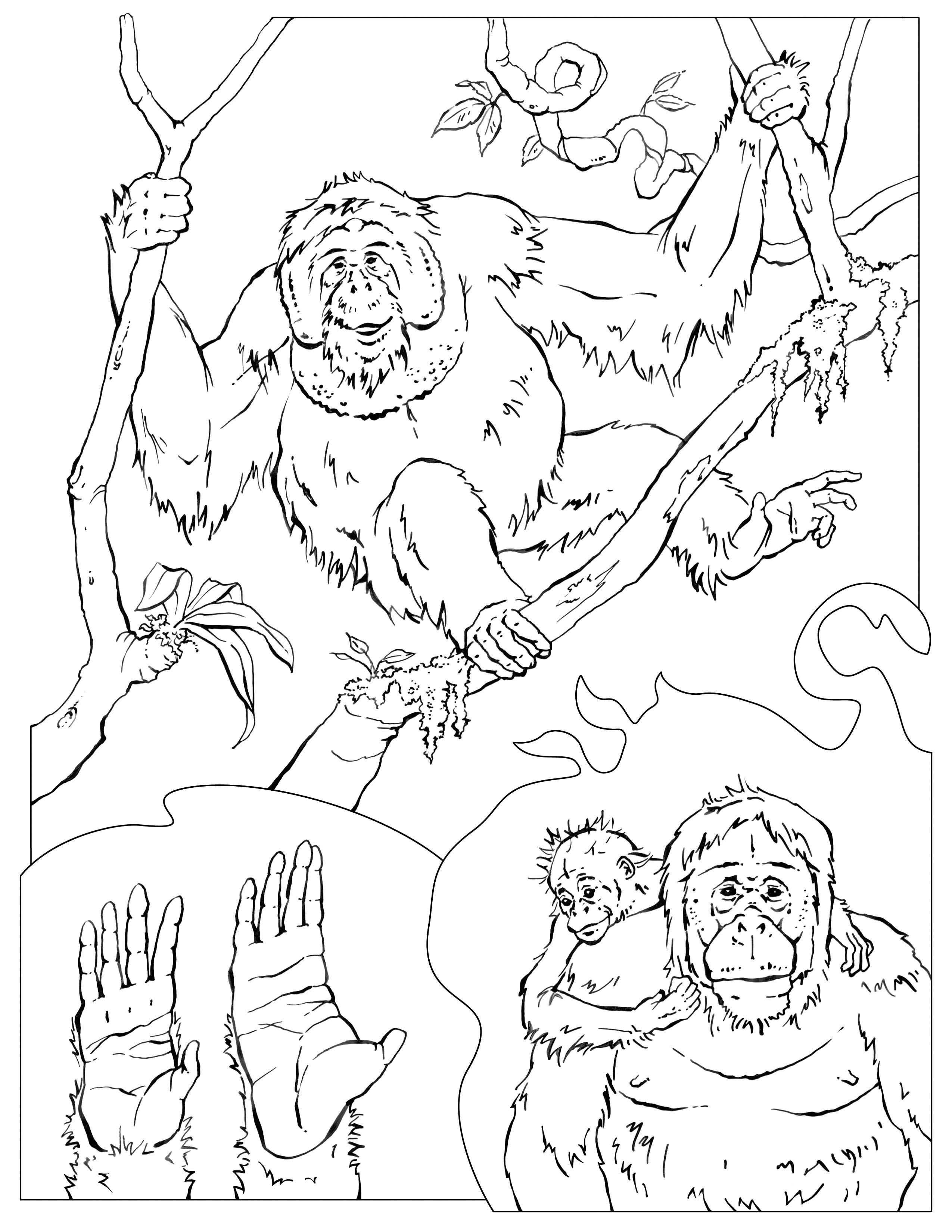 2550x3300 Reward Chimpanzee Coloring Pages Orangutan