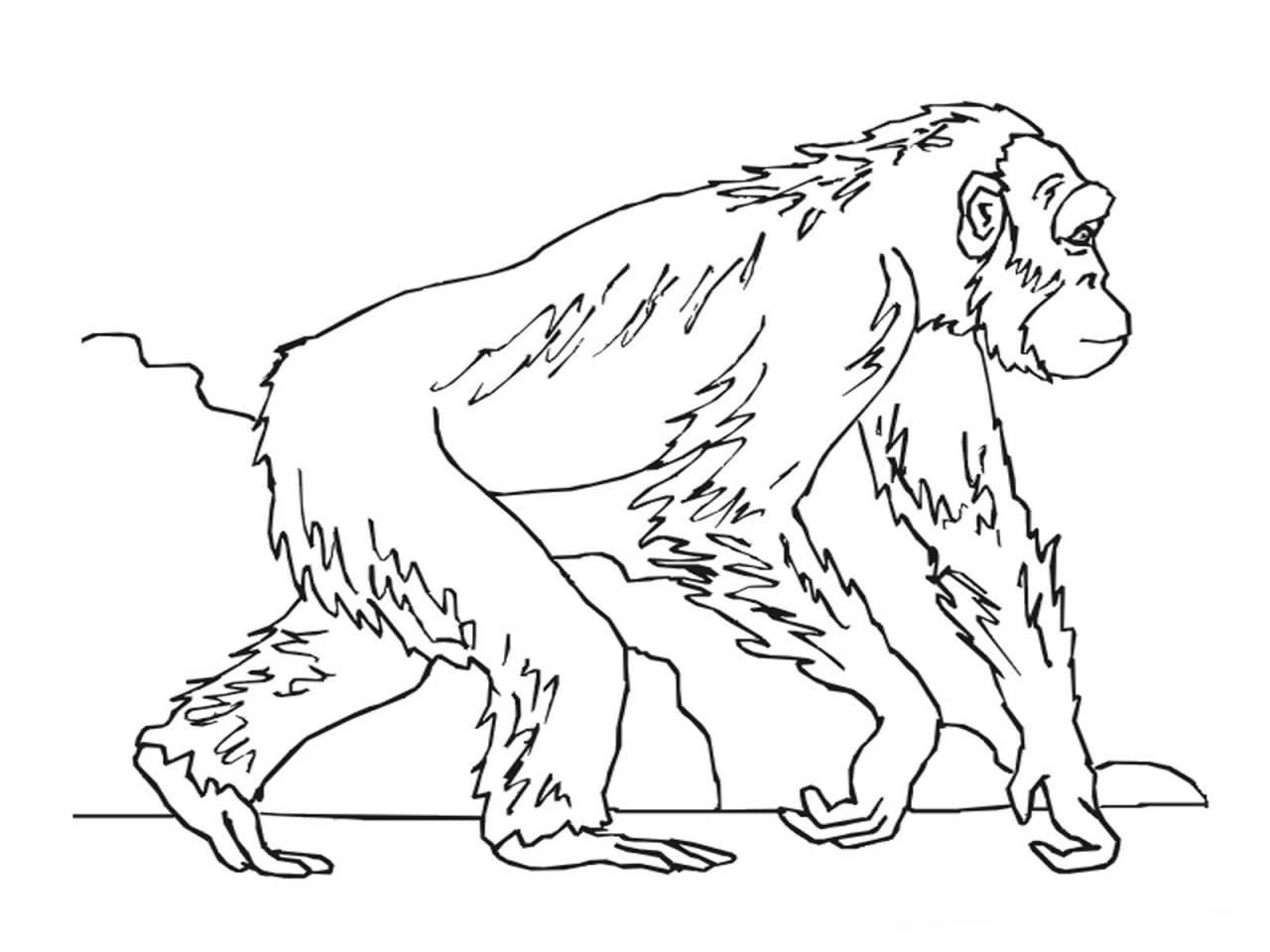 1280x960 Tremendous Chimpanzee Coloring Page Limited Unique To Color