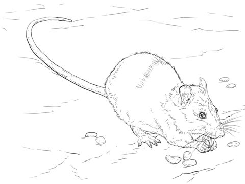 Chinchilla Coloring Page