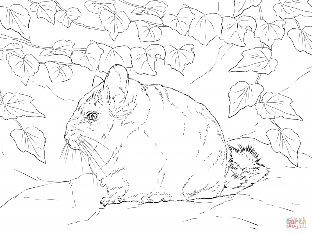 1024x768 Short Tailed Chinchilla Download For Coloring Page
