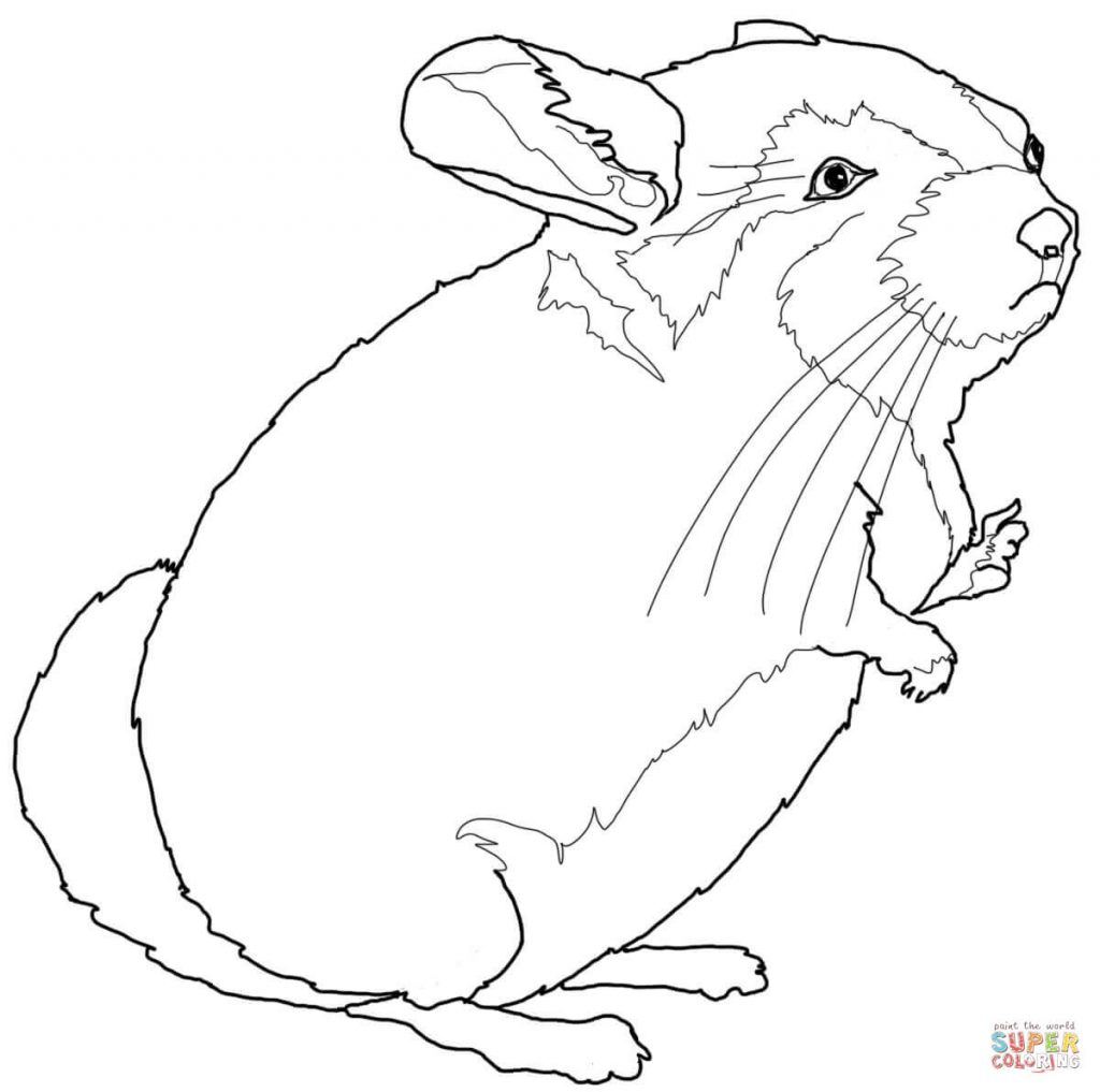 1024x1017 Chinchilla Download For Coloring Page