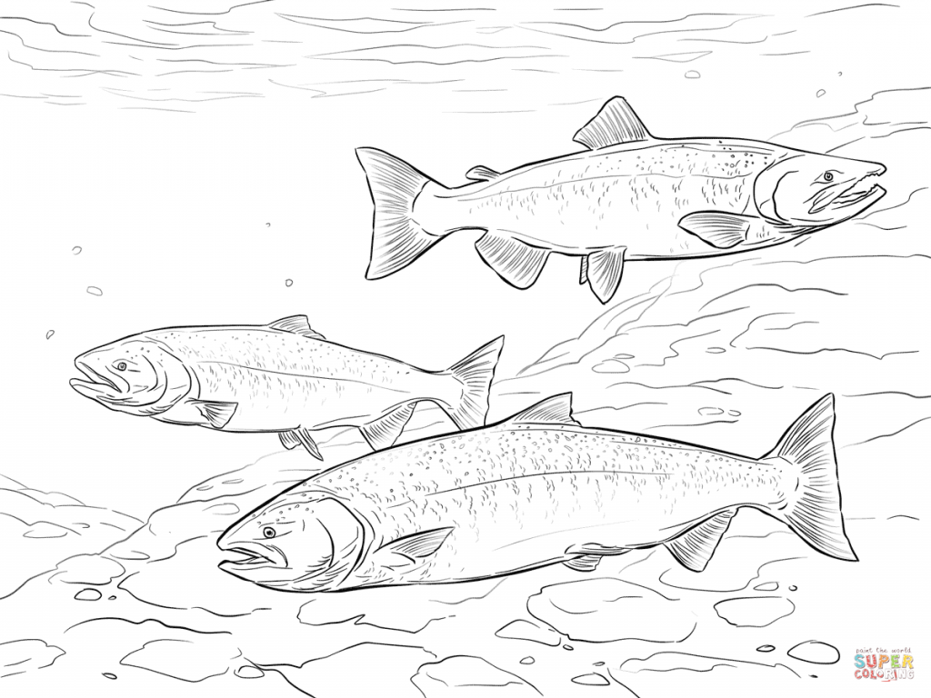 1024x768 Chinook Salmon Download Coloring Page