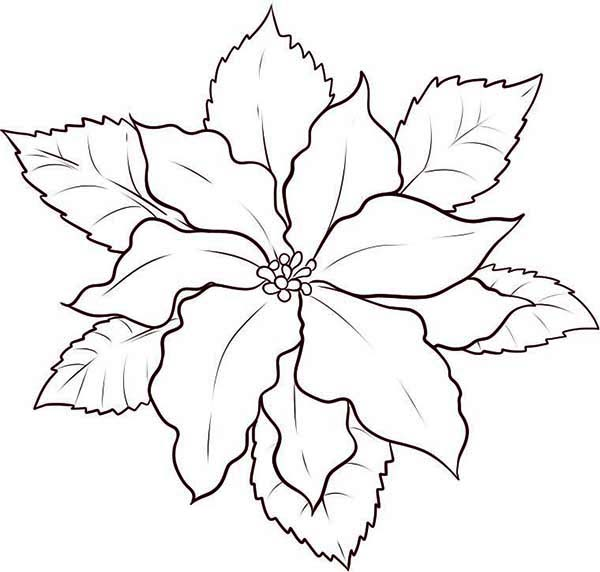 600x572 How To Make Poinsettia Flower Sketch Coloring Page