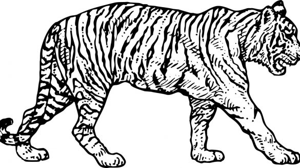 585x329 Sizable Tiger Pictures To Print Daring Coloring Of Tigers