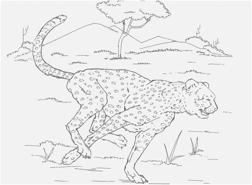 827x609 Leopard Coloring Pages Display Leopard Coloring Page