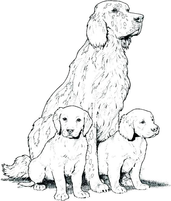 564x664 Cocker Spaniel Coloring Pages