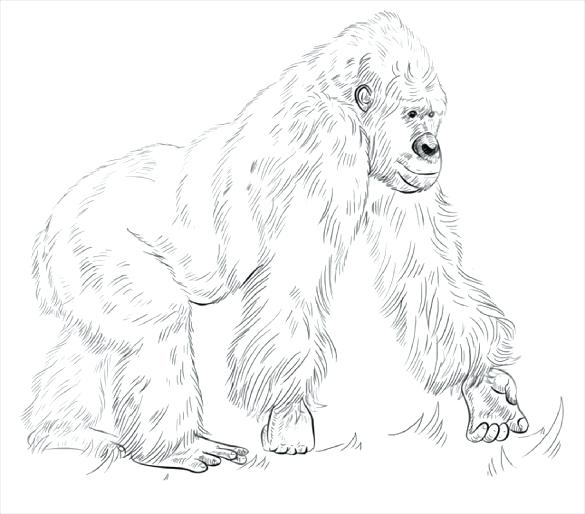 585x514 Cocker Spaniel Coloring Pages Gorilla Coloring Page Free Download