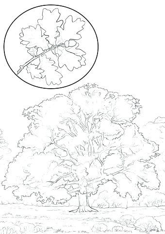 340x480 Oak Tree Coloring Page
