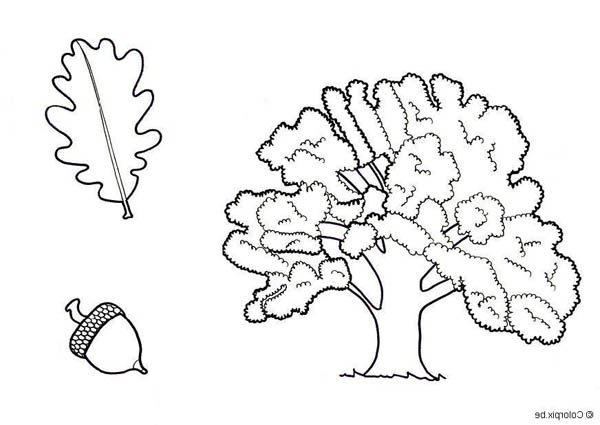 600x425 Drawing Of An Oak Tree Leaf And Fruit Coloring Page Color Luna