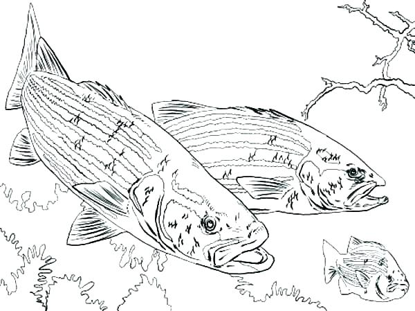600x449 Bass Coloring Pages Printable Fish Coloring Pages Adult Fish
