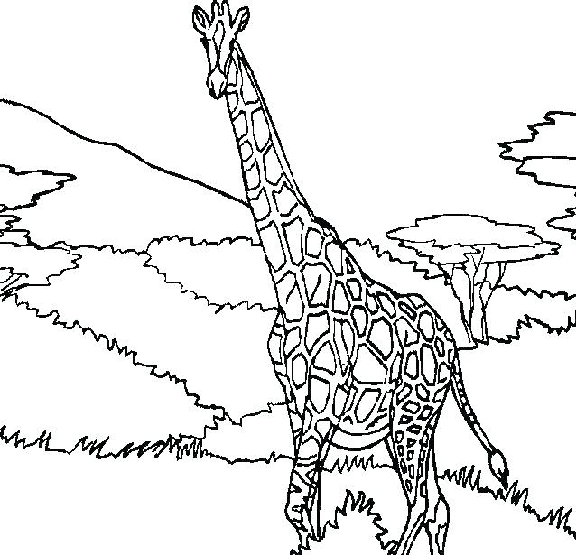 638x615 Giraffe Color Page Giraffe Coloring Page Baby Giraffe Color