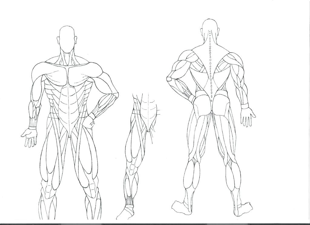 1024x745 Muscle Coloring Pages X Human Body Muscle Coloring Pages