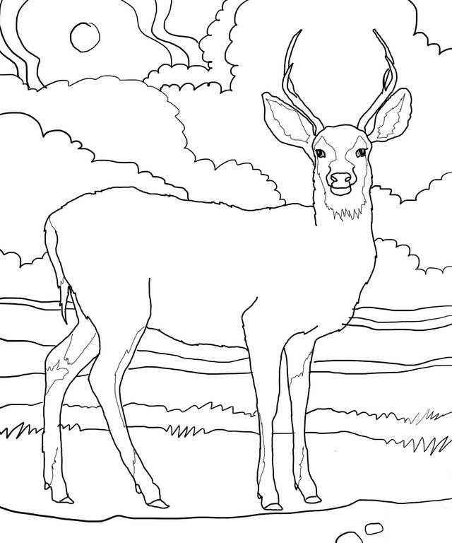 Coloring Pages Of Deer Bucks At Getdrawings Com Free For Personal