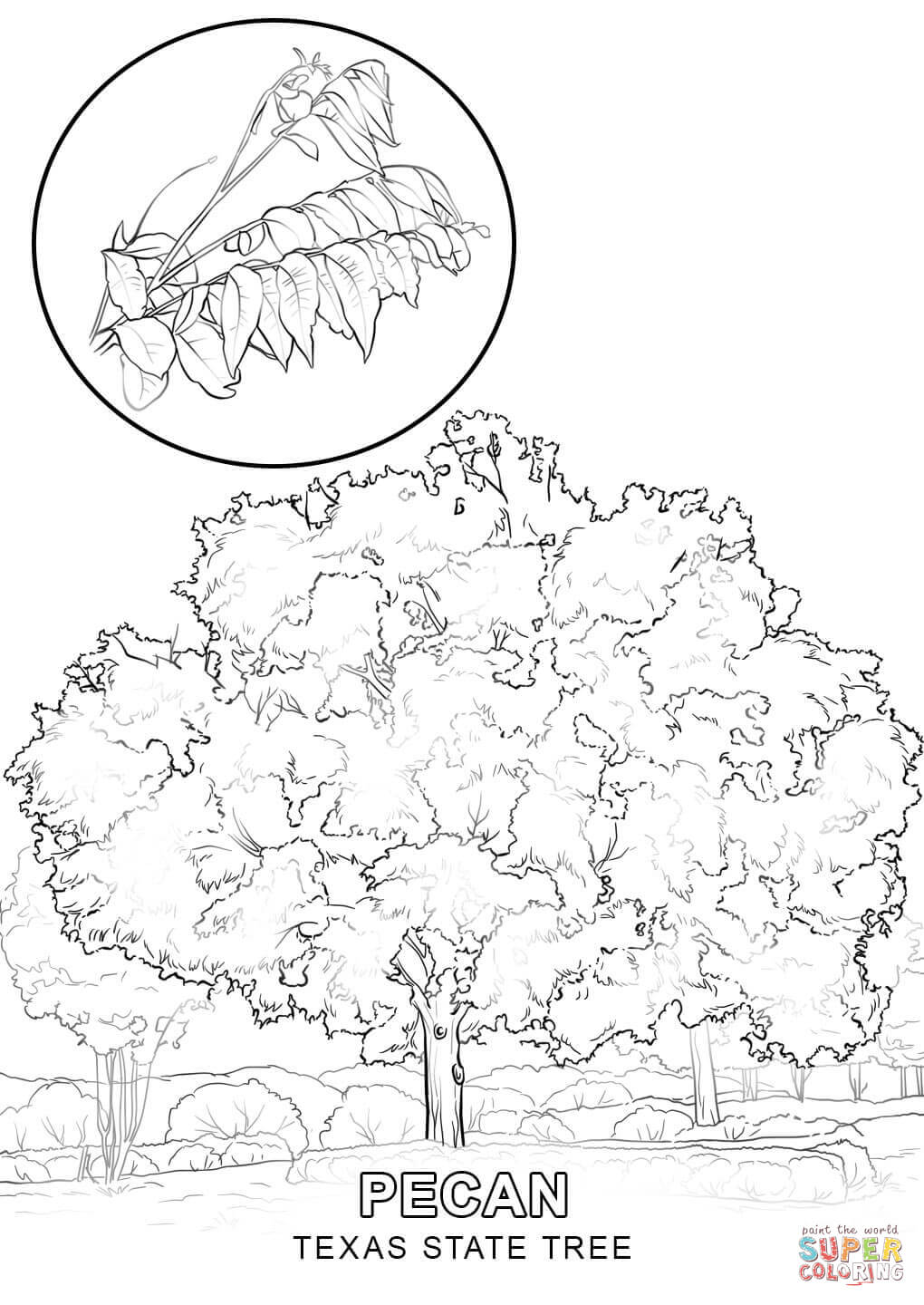 1020x1440 Texas State Tree Coloring Page Free Printable Pages Inside Draw
