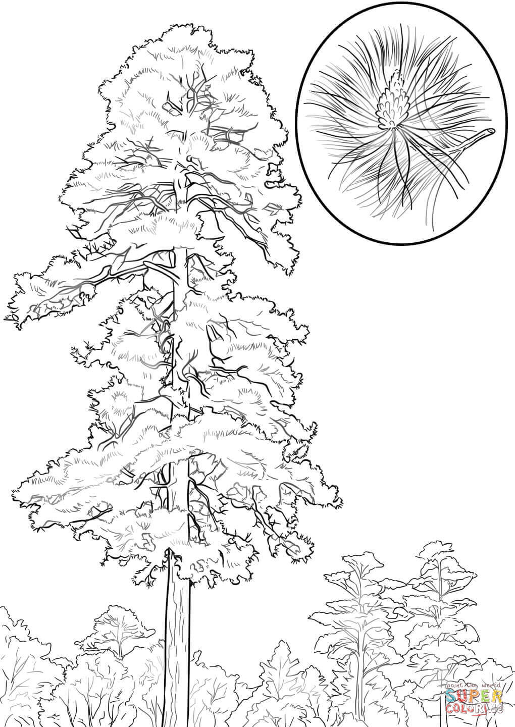 1020x1440 Ultimate White Pine Tree Coloring Page Ponderosa From Trees