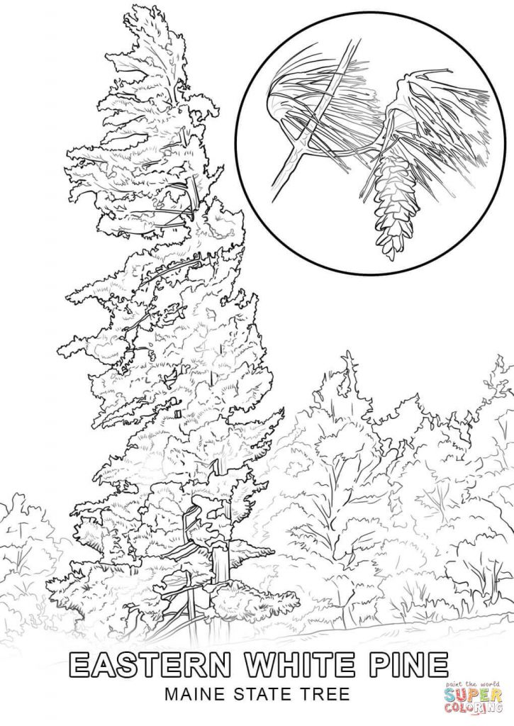 725x1024 White Pine Tree Coloring Page