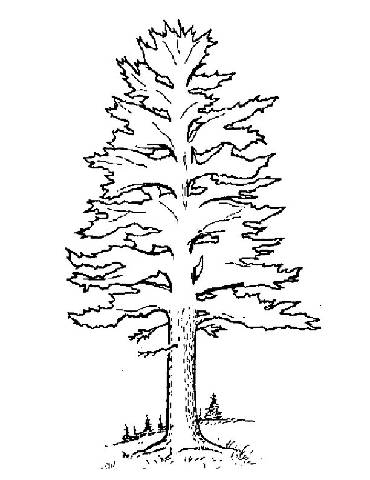 370x480 White Pine Tree Coloring Page