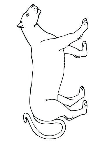 360x480 Mountain Lion Coloring Pages Walking Mountain Lion Coloring Page