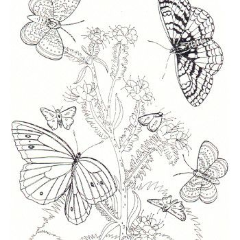 350x350 Free Coloring Pages My Compassion Butterfly Free