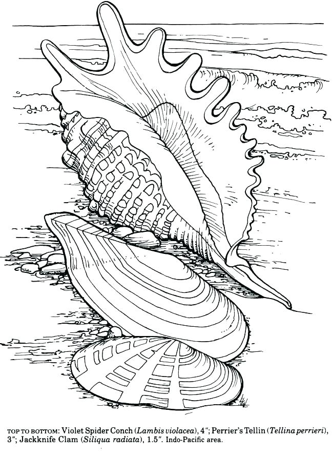 650x887 Sea Shell Coloring Pages Sea Shell Coloring Page Sea Shell