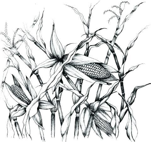 480x452 Corn Stalk Coloring Page Corn Stalk Coloring Page Pin Corn Sketch