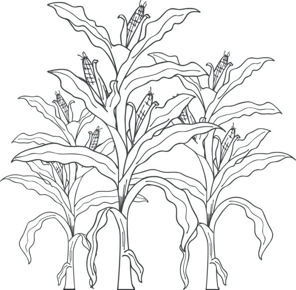595x584 Corn Stalk Coloring Page Ear Coloring Page Corn Stalk Coloring