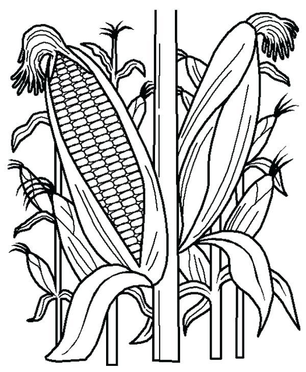600x728 Corn Field Coloring Page Corn Stalk Coloring Page Corn Stalk