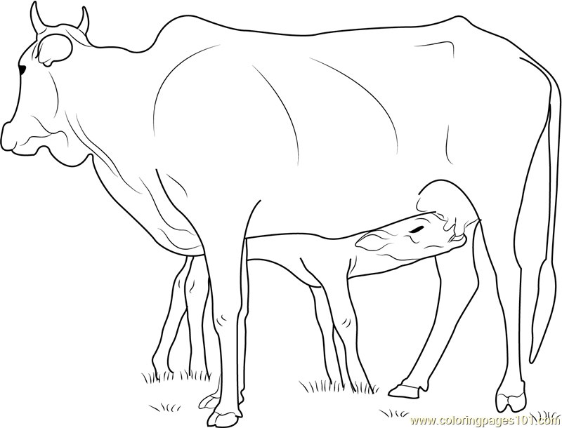 800x610 Cow Feeding Calf Coloring Page