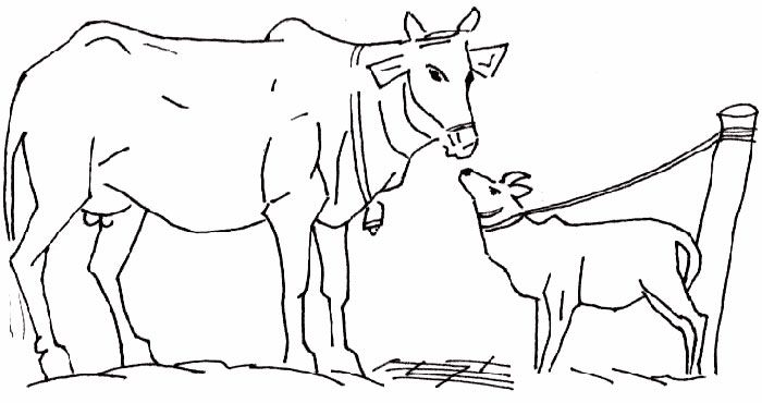 700x370 Free Cow Coloring Pages Printable