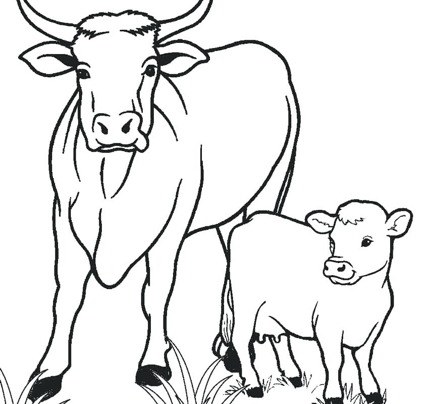 850x800 Cows Coloring Pages Free Printable Cow Coloring Pages For Kids Is
