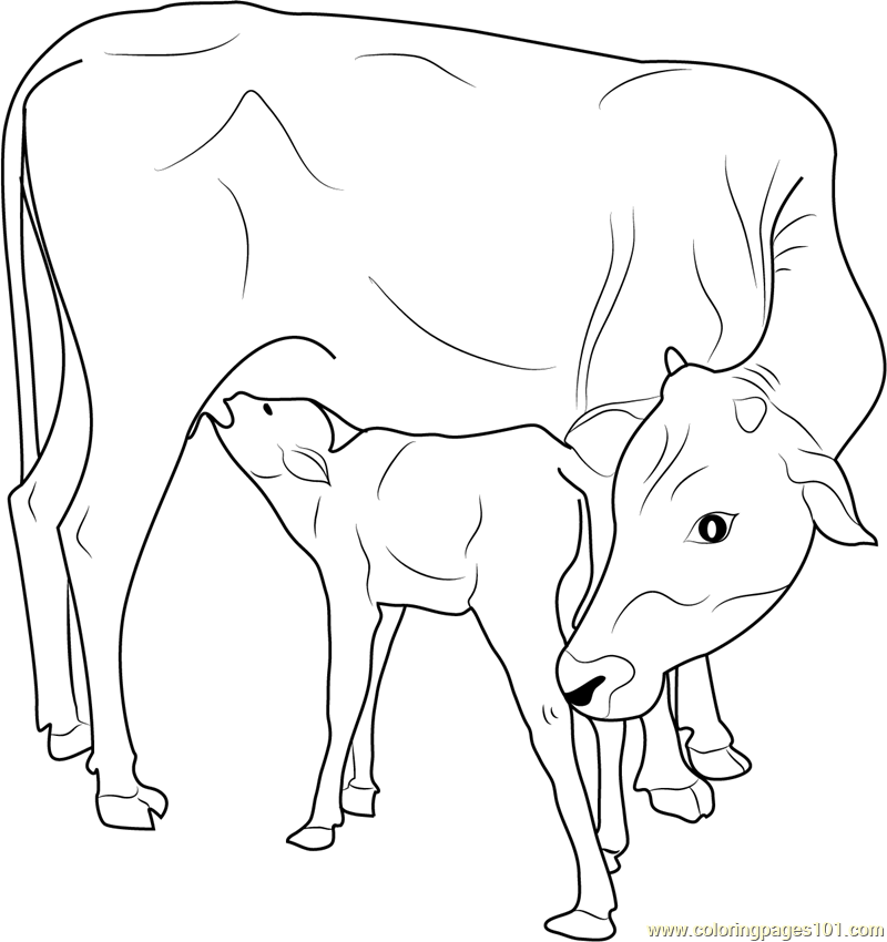 800x850 Indian Cow With Calf Coloring Page